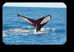Vign_baleine